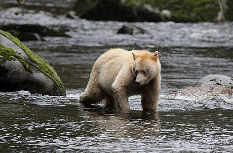 Spirit Bear; courtesy of WWF